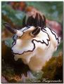 Nudibranch (Glossodoris atromarginata) - (Canon G9, D2000w, UCL165)
