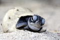 Baby turtle on the beach trying to crawl out of its egg.