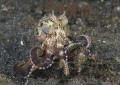 Veined octopus. Lembeh straits. D200, 60mm.