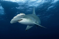 Great hammerhead...under dive boat.. one i will never forget ... D70 10.5mm ..
