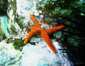 Blood Star (Henricia leviuscula) shot at the Los Coronados Islands in Mexico