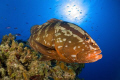 Grouper at Little Cayman.  Nikon D200, 10.5 lens