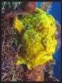Yellow Frog fish.