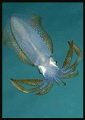 this squid pic was taken in the Lembeh Straits-I used a 60mm lens and Nikon D-200 and a lot of breath holding to get close enough to it! Taken from below