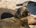 Galapagos Sea Lion pup approximatly two to three days old.