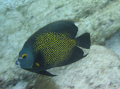 A French Angel Fish, Swimming At Speed!