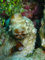 cheecky little octopus @ cyclon reef - tranquility island / Vanuatu Canon G9