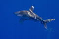 Oceanic White tip shark. Amazing creature