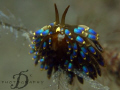 TERGIPEDIDAE-Trinchesia Yamasui, lovely nudi resting on branches. Capture by Canon G9 with INON single strobe and macro lens @ Perhentian Island, Malaysia.