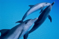 Stenella frontailis / Atlantic spotted Dolphins @ the Ridge in the Bahamas