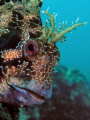 blenny, Parablennius gattorugine / Oly c5060wz / Fiesa, Slovenia