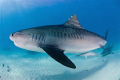Tiger shark shot in the Bahamas with a nikon D70s and 10.5mm fisheye lens, no cage.