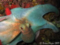 This octopus was being pecked at by a large Coney (Cephalopholis fulva). So I guess he didn't want the octopus in his area. ...><((((>...Canon G7