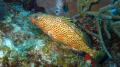 Rockhind Grouper