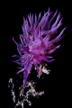 Nudibranchs - Cratena peregrina