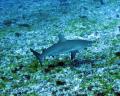 Young reef shark at Fernando de Noronha's archipelago.