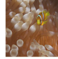 Anemone Fish