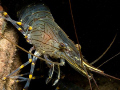 Common Shrimp, Trefor Pier, N. Wales, UK.