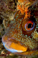 Tompot Blenny, Trefor Pier, N.Wales, UK