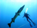 Great Barracuda and my friend Albert.  Desecheo Island, P.R. Dive Site,