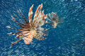 lionfish hunting