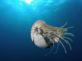 I was amazed! A Nautilus... never thought I had this encounter! Nikonos V slide film...