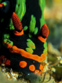 Nembrotha head close up, full frame, no cropping. Capture by canon G9 with single INON strobe and double macro lens @ Tenggol Island, Malaysia.