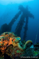 Truk Lagoon (Chuuk), Micronesia.  Gas Mask sits on the deck below the forward mast of the Nippo Maru wreck. ©Amanda Cotton