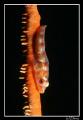 Wip Coral Gobbie