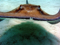Heading straight for me!  Stingray City, Grand Cayman.  Photo taken August 2008 with a Canon SD550.
