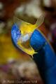 Blue Ribbon Eel.  Wakatobi, SE Sulawesi.  Canon 40D & Canon 100 macro