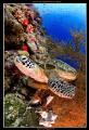 Green Sea Turtle off Sipadan island, Malaysia  Nikon D300, Tokina 10-17mm Fisheye Sea & Sea MDX-D300, 2x YS-110 strobes