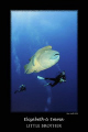 large napoleon wrasse and two divers