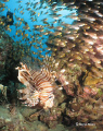Lionfish Cave, there were no less than 250 lionfish on this house reef which was swarming with glassfish as well