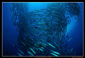 Barracuda Vortex at Sipadan Island's famous Barracuda Point