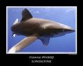 oceanic whitetip ( longimanus ) Elphinstone full frame 10mm tokina