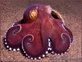 Coconut or Veined Octopus (Amphioctopus marginatus) with it's shell - Puri Jati, Bali (Canon G9, Inon D2000w)