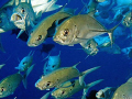 Bigeye trevally - 