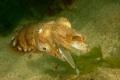 Cuttlefish eating a sand eel, Hope Cove, Devon.  Taken using Nikon D100 & 60mm lens