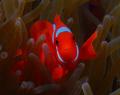 Spinecheek anemonefish,Wakatobi-Teluk Waitii