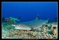 White tip reef shark. Took me a good 5 minutes to stalk this fella and get within a foot to take this photo.