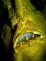 Giant Frogfish having meal, still can see fish head and half body inside the mouth. Photo capture by Canon G9 with INON single strobe @ Seaventures, Sipadan.