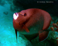 An upbeat Gray Angel Fish driving me mad as it just kept swimming like mad! Recorded on a SEA&SEA DX1G and 19mm wide and YS17 strobe