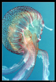 A jellyfish can be so beautifull :-)