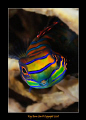 Mandarin Fish, 