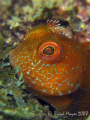 Just as I found this Fringed Blenny (Mimoblennius cirrosus) it darted in a hole and would only peep out every so often to see if I was still there. Which of course I was, since I wanted a close up shot. ...><((((>.....Canon G9 & Inon UCL-165's