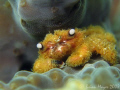 This tiny coral crab (Cymo melanodactylus) is so fury, it's more like a teddy bear than a crab. It was nicely posed like this when I found it and didn't dive for cover when I started snapping away, like most critters do..><((((>..Canon G9 & lenses