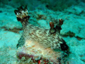Giant nudibranch - impressive!
