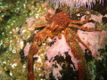 Squat Lobster taken off St Abbs Head with a Canon A570is