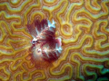 Christmas Tree worms are one of my favorites.  This was taken on Planacar Bricks, Cozumel, MX